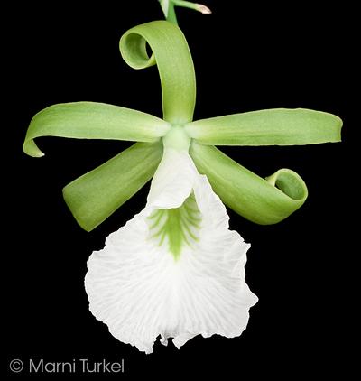 Для вдохновения Enc.mariae.curly.1184